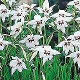 30 x Acidanthera Abyssinian Gladiolus Bulbs
