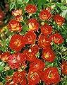 Zwergrose 'Cha Cha' -R- im 4 L Container von Rosen-Union bei Du und dein Garten