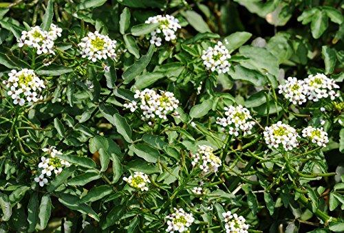 Asklepios-seeds® - 2000 Samen Nasturtium officinale, Echte Brunnenkresse