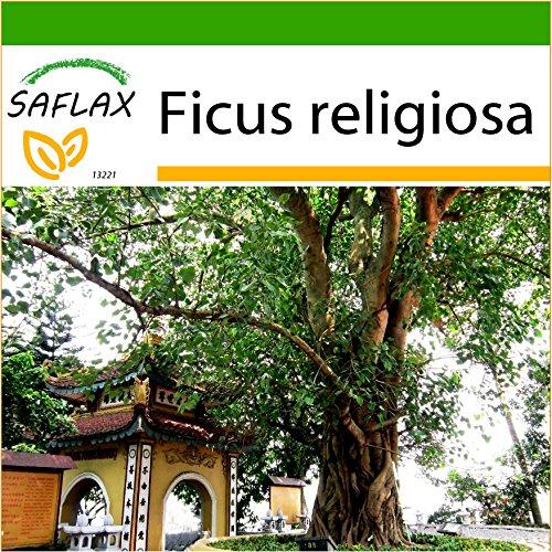 SAFLAX - Buddha-Feige / Bodhi-Baum - 100 Samen - Mit Substrat - Ficus religiosa