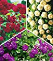BALDUR-Garten Rambler-Rosen-Kollektion Bleu Magenta, Chevy Chase, Alchymist, Kletterrosen 3 Pflanzen von Baldur-Garten - Du und dein Garten