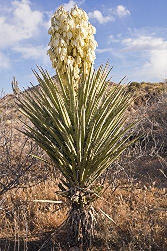 Winterharte Bananen Yucca - Yucca baccata - verschiedene Größen (130+cm - Topf 35 Ltr.)