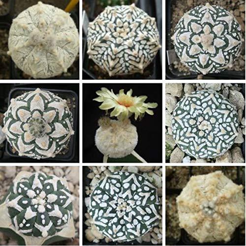 Portal Cool Real 20Pcs Mix Sukkulente Samen Cactus Astrophytum Care Free Asterias