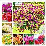 Portal Cool 3: 100 PC-Mix Farbe Bougainvillea Bonsai Seed-Baum-Blumen Pflanzen Dekor Hausgarten