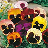 #4: Flower Seeds : Pansy Hybrid Mix Seeds -Yellow, Brown,Red ,White And Pink Mix Plant Seeds Seasonal Flowering Plants Garden [Home Garden Seeds Eco Pack] Plant Seeds By Creative Farmer