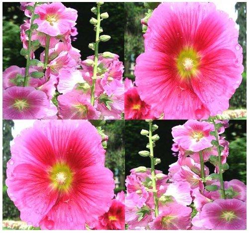 50 PINK Alcea rosea Hollyhock Wildflower Seeds ~ HUMMINGBIRDS & BUTTERFLIES by MySeeds.Co -