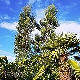 Future Exotics Eucalyptus gunnii Pflanze winterhart 40-50 cm