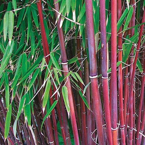 1 x Fargesia Asian Wonder 100-120cm XXL Topf (Bambus) C5 TOP SORTE FÜR HECKE