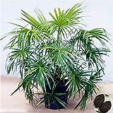 Pinkdose 5 Pz piante ornamentali Livistona Chinensis Bonsai alto Albero sempreverde Fontana Palm Bonsai Green Garden cinese Palma Bonsai