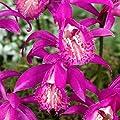 Gärtner Pötschke Pleione-Orchidee Tongariro von Gärtner Pötschke bei Du und dein Garten