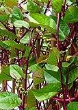 Tropica - Gemüse - Roter Malabarspinat (Basella rubra) - 15 Samen