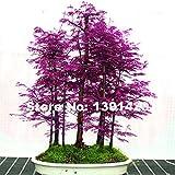 200pcs Rare Lila Chinesisches Rotholz Bonsai-Baum - Metasequoia glyptostroboides, DIY Hausgarten, sehr einfach zu wachsen! Zierpflanze