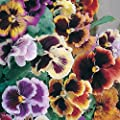 Pansy - Masterpiece Rococo Mix - 500 Finest Seeds
