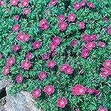 Blut Storchschnabel 'Max Frei' (Geranium sanguineum) - 1 Pflanze
