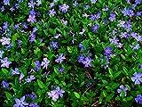 Vinca minor Bodendecker Kleines Immergrün im 0,5 L Topf gewachsen mit blauen Blüten, 50 Stück