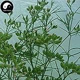 PLAT FIRM KEIM SEEDS: 100pcs: Kaufen Cuminum Cyminum Seeds Pflanze Kräuter Cumin Für chinesische Gewürze Zi Ran