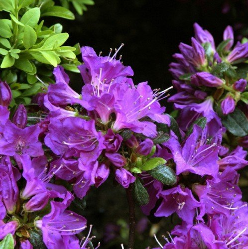 japanische-azalee-purpurtraum-oe-25-30-2-l-co