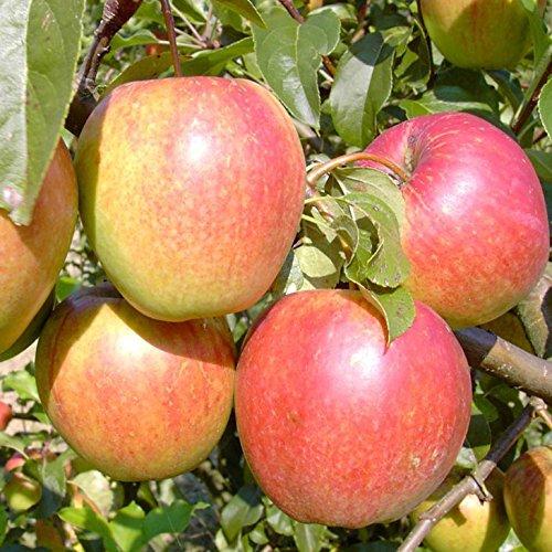 Apfel Süß-säuerlich, fest, saftig
