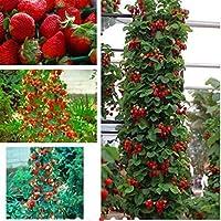 100 unids Semillas de Enredadera de Fresa Escalada Planta de Frutas Decoración Del Jardín de Crecimiento Rápido Semillas Deliciosas Inicio