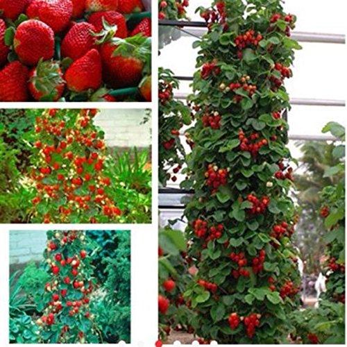 SSXY Graines de Fraises grimpantes, Plantes grimpantes grimpantes pour Plantes grimpantes aux Fruits et graines de bonsaï pour la Maison et Le Jardin (100 Pcs)