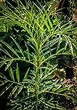 Portal Cool Marigold Mexicain Minuta! Incroyable Naturel HERBICIDE, Facile à cultiver! Comestible!