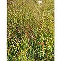 Panicum virgatum 'Hänse Herms' - Braunrote Rutenhirse, im 0,5 Liter Topf, braun blühend von Blumixx Stauden bei Du und dein Garten
