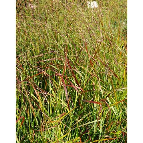 Gräser Segge winterhart,