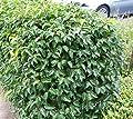 Portugiesische Lorbeerkirsche 'Angustifolia' / Kirschlorbeer - Prunus lusitanica 'Angustifolia' 15-30 cm, 3-4 pro m von Gartengruen24 auf Du und dein Garten