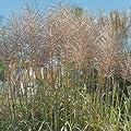 lichtnelke - Chinaschilf (Miscanthus sinensis 'Rotsilber') von Lichtnelke Pflanzenversand auf Du und dein Garten