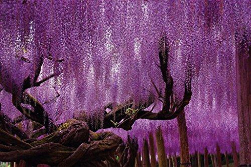 Wisteria papel pintado de fotografía – Wisteria plantas papilionáceas cuadro mural –...