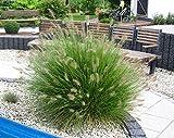 """Lampenputzergras Pennisetum alopecuroides""""Hameln"""" Ziergras winterhart mehrjährig -17 cm Topf - schöne winterharte Kübelpflanze"""