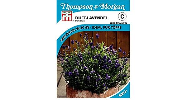 Blumen 20 Samen Lavendel Mini Blau Thompson /& Morgan