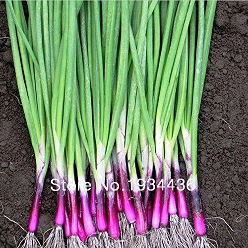 Four Seasons Red petites graines d'échalote, graines de légumes délicieux - 50pcs / lot