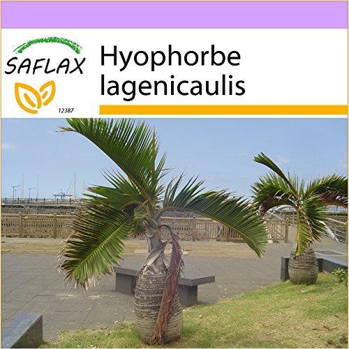 SAFLAX - Flaschenpalme/Faßpalme - 3 Samen - Hyophorbe lagenicaulis