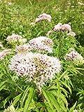 Echter Arznei Baldrian Valeriana officinalis 600 Samen