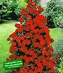 BALDUR-Garten Rote Duft-Strauchrosen,...