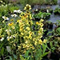 lichtnelke - Königskerze (Verbascum chaixii) Sixteen Candles von Lichtnelke Pflanzenversand bei Du und dein Garten