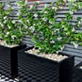 2 Toscan Jasmin (Sternjasmin) - Weisse Sternjasminblüten, Immergrün und Winterhart - 1,5 Liter Topfen   ClematisOnline Kletterpflanzen & Blumen von ClematisOnline bei Du und dein Garten