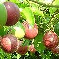 Rosepoem 10 Stück Original-Verpackung Passionsfrucht Samen Bio Passiflora edulis Samen Nahrhafte Granadilla Garten Fruchtsamen von Rosepoem bei Du und dein Garten