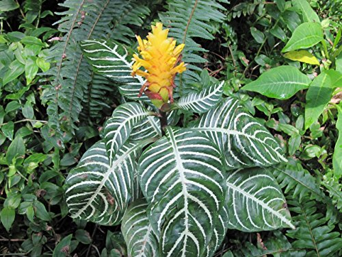 Aphelandra squarrosa: Zebra plant (English Edition)