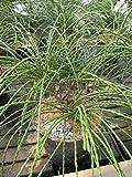 Thuja plicata Whipcord - Faden-Lebensbaum -