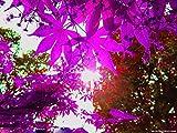20 PCS lila Ahornbaumsamen Mini Bonsai Blume Kanada Ahornsamen für zu Hause Garten Bepflanzung
