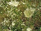Portal Cool 200 Samen Bergamotte/Bergamotte aromatische Pflanze Gras