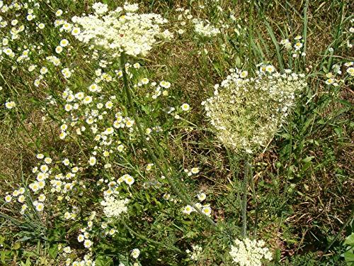 tomhy semi pacchetto: 4000 semi di basilico piccante rotonda erba ticmild facile coltivare