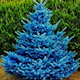 Murieo 100 pcs Kiefer Samen Seltene Blau Kiefer Samen Garten Bonsai Pflanzensamen Baum samen