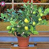Shopmeeko SEEDS: 20pcs Erbstück organischen Kalk Bonsai-Baum grün Scottish Obst natürliche Zitronenbaum Topfpflanze für zu Hause Garten Bepflanzung