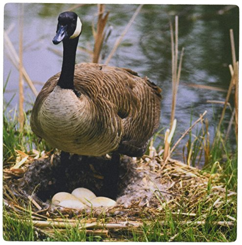 3drose-llc-8-x-8-x-025-inches-canada-goose-bird-eggs-in-nest-boise-idaho-david-r-frazier-mouse-pad-m