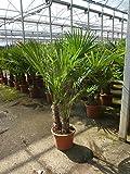 Winterharte Palme -Trachycarpus fortunei- 170 cm - Multistamm / Gruppe - / Chinesische Hanfpalme