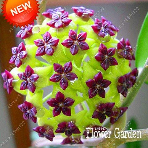 20 pc / sacchetto semi di hoya, palla di orchidee semi di fiori pianta perenne hoya carnosa, semi di orchidee rare, piante in vaso bonsai per giardino di casa 3