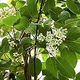 Dominik Blumen und Pflanzen, Kiwipflanze, Kiwi, Actinidia arguta